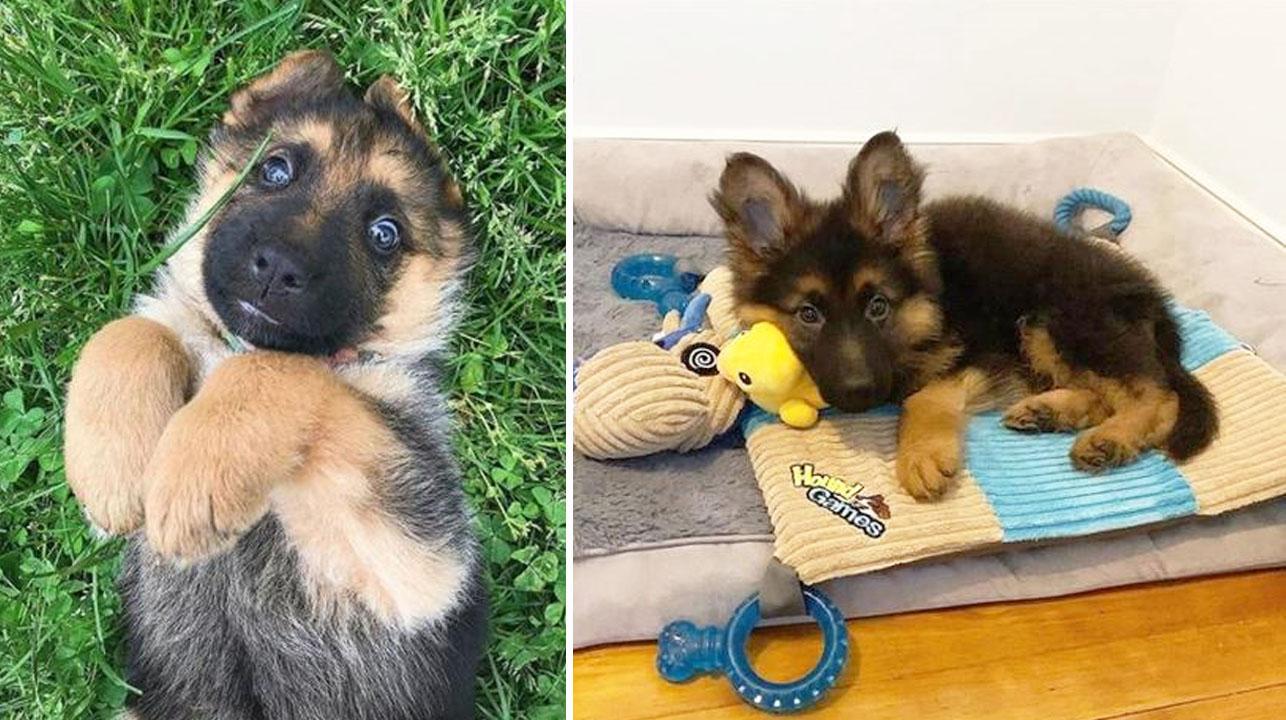 15 Cachorros de pastor alemán que son lo más lindo que verás hoy