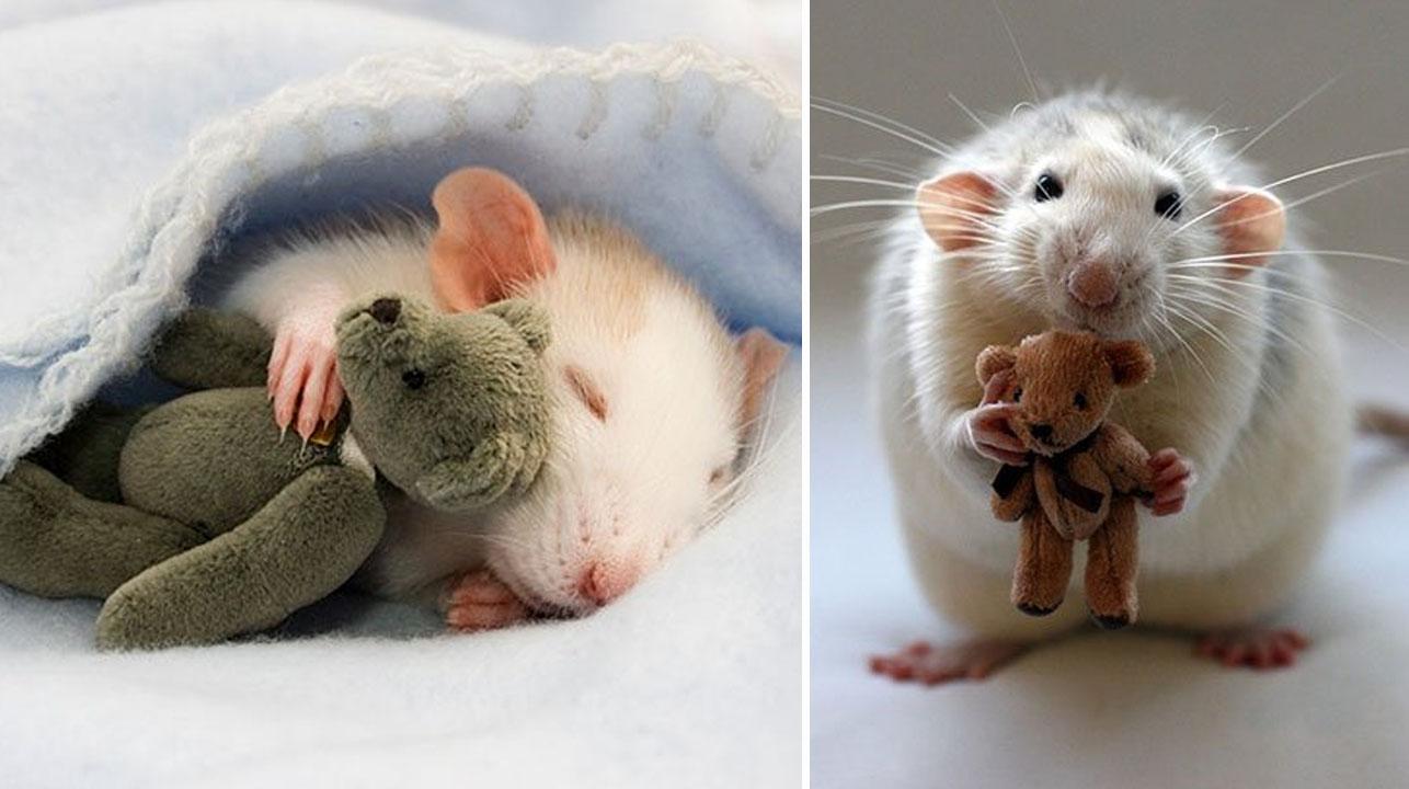17 fotos tiernas de ratas con sus ositos de peluche