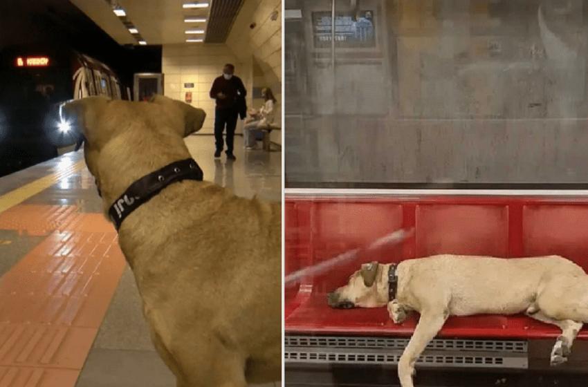 Adorable, perro callejero toma el tren todos los días para recorrer Estambul
