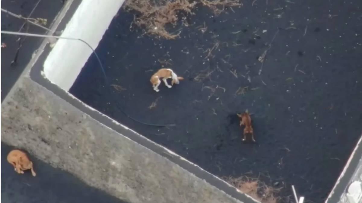 Con drones alimentan alimentan a perros atrapados por la lava en Canarias