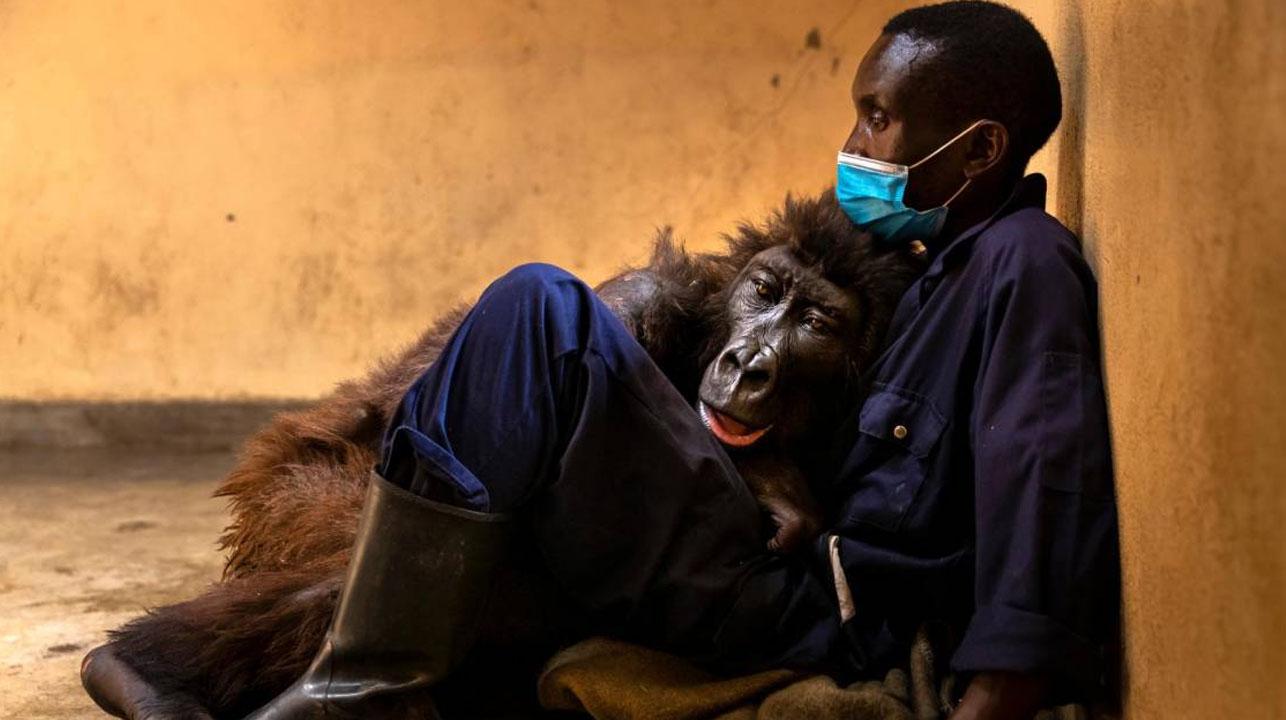 En los brazos de su cuidador, fallece la famosa gorila huérfana Ndakasi