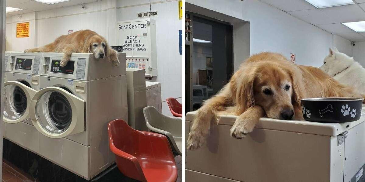 Perro que trabaja en la lavandería no puede dejar de tomar siestas en todas las máquinas
