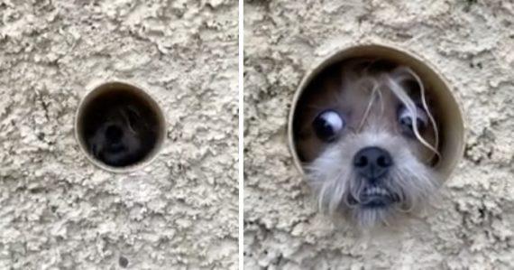 Cachorrita paranoica usa una tubería para ver a los transeúntes y proteger su casa